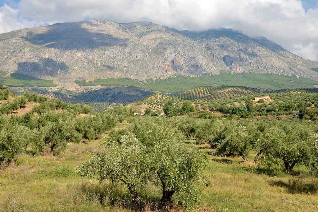 Campo de Olivos y Sierra Mágina