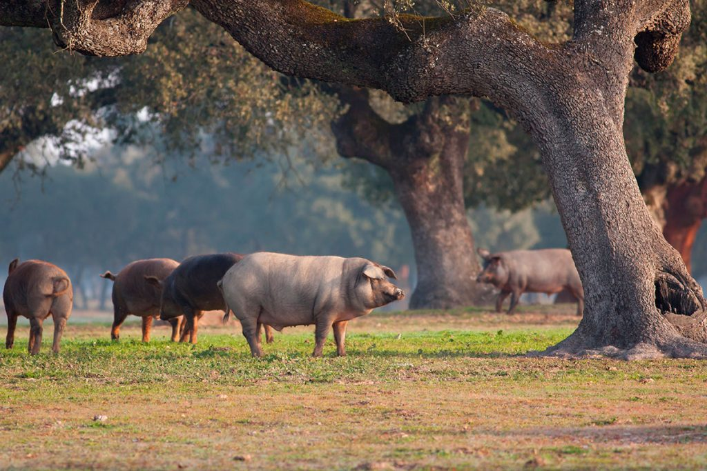 Cerdo Iberico bellotas andalucia