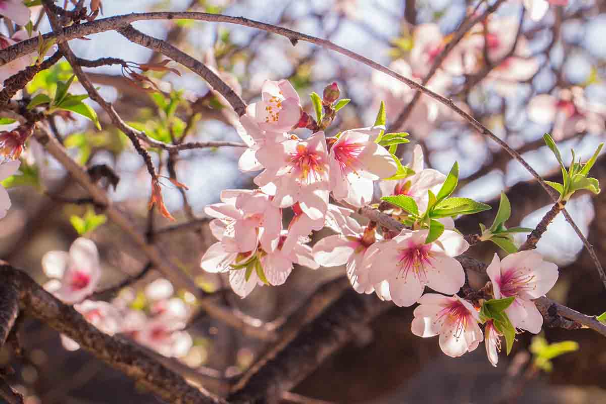 Ruta almendros en Flor